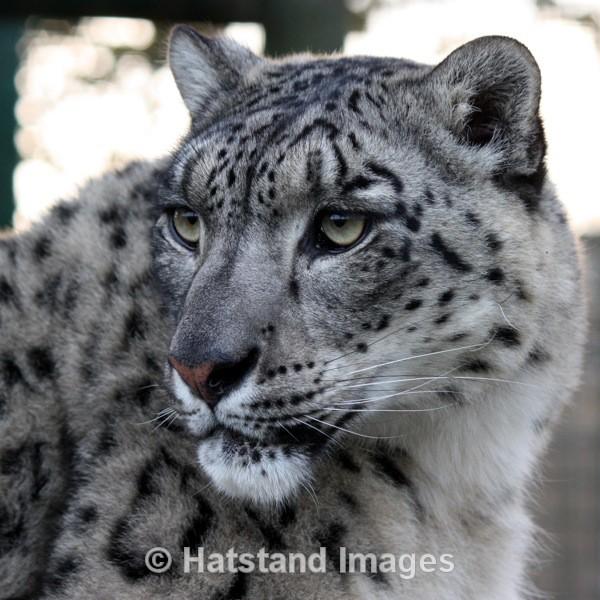 Snow leopard - nature