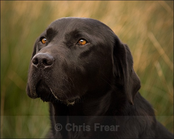Black Labrador Portrait - Dogs