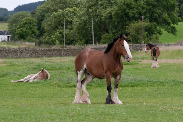 7 - Clydesdales