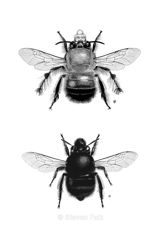 Anthophora plumipes Combo - Bees