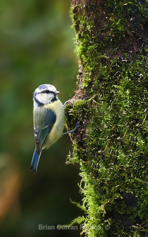 Yellow Tit - Various