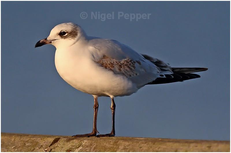 1st-yr Med Gull ( 3 ) - Gulls