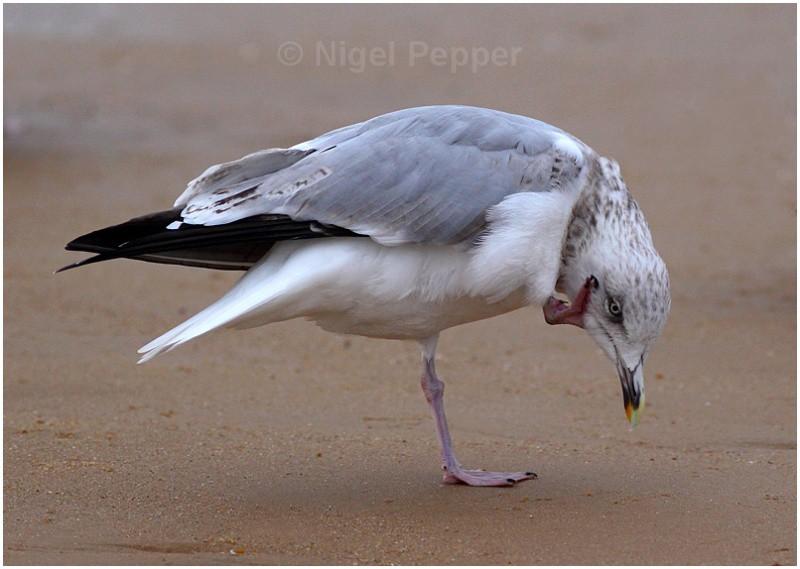 Scratching - Leggy the Herring Gull