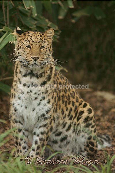 Amur Leopard - Amara (Cotswold WP) - Amur Leopards