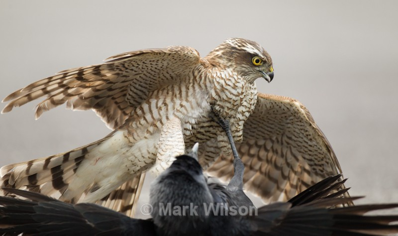 Sparrowhawk (F) w Jackdaw - Birds of prey & owls