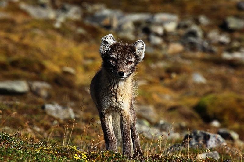 Arctic fox 7377 - Wildlife
