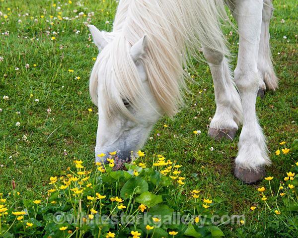 Wild Horse - Scottish Highlands