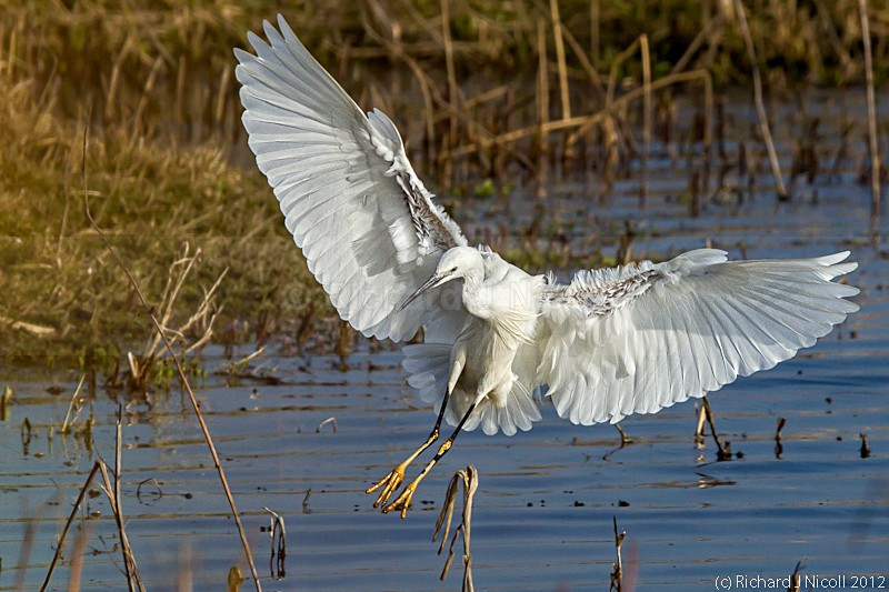 Little Egret (Egretta garzetta) landing - ARPS Panel