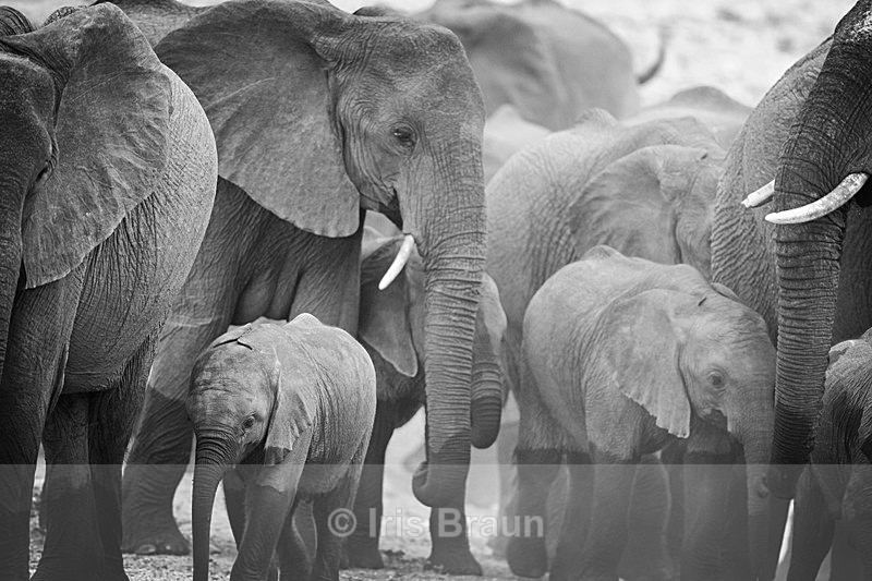 Dusty - Elephant