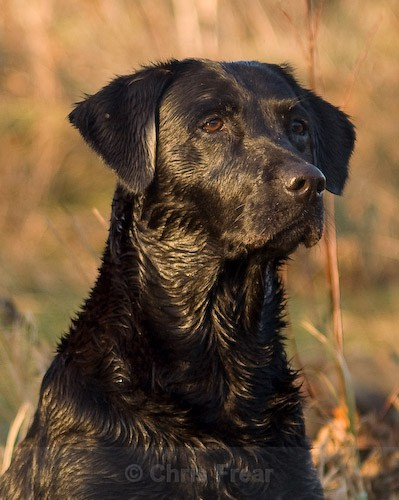 8 - Heney Gundogs