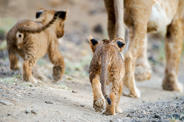 Lion Shompole, Kenya