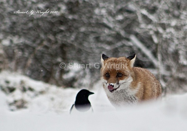 607 - Fox