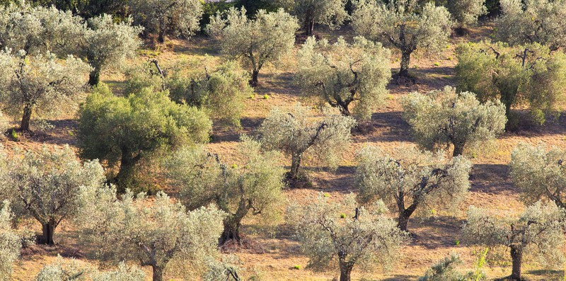Olive Trees - Slovenia and Tuscany