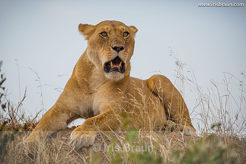 On Top - Lion