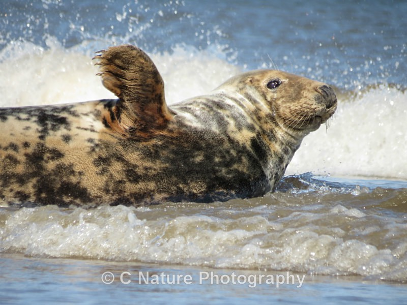 Grey Seal Waving - Animals