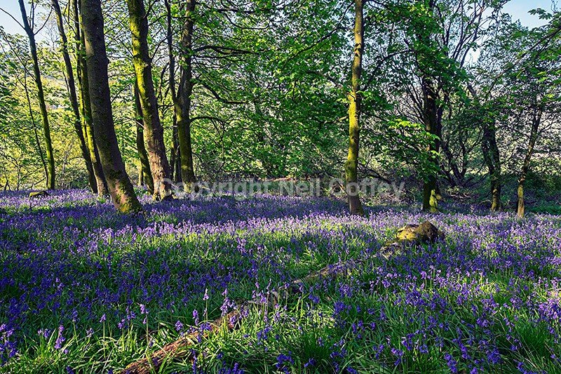 Bluebell forest near Fintry, Stirlingshire - Landscape format