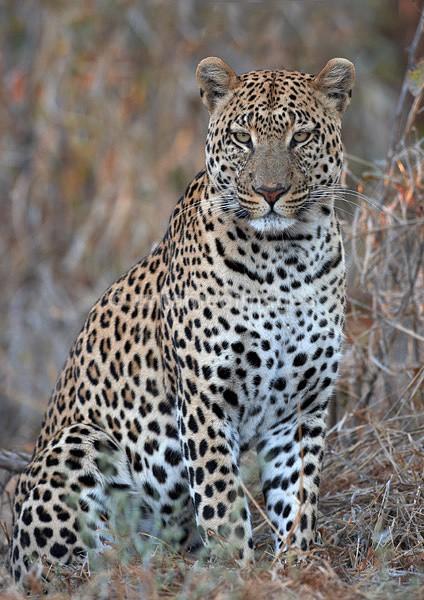 Male  leopard - Botswana