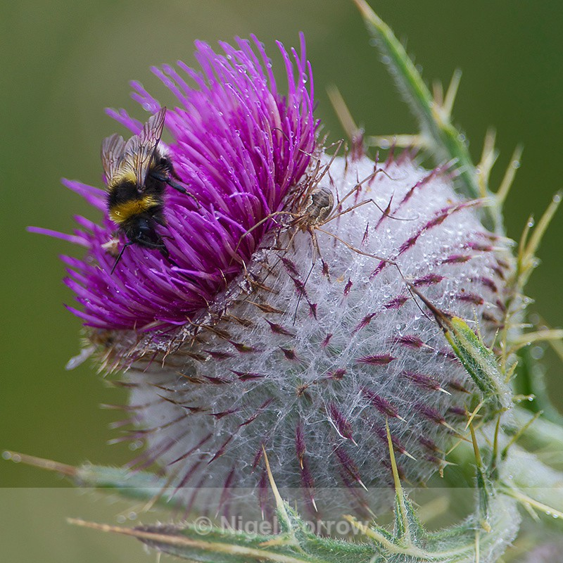 Bee & Spider on a Thistle - INSECTS