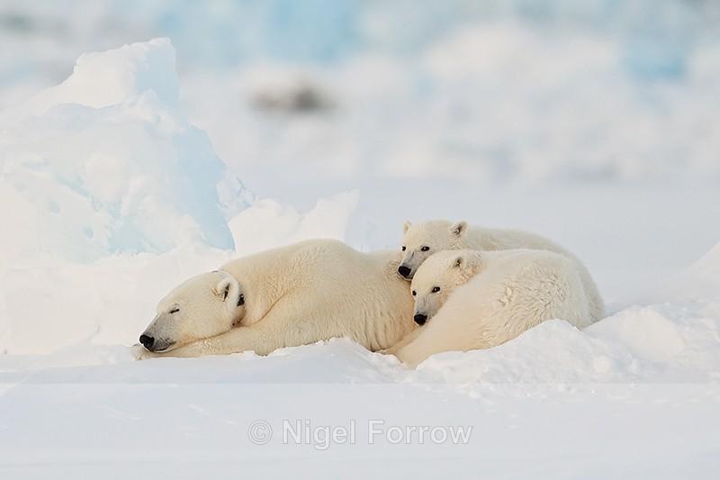 Sleeping female Polar Bear & cubs, Svalbard, Norway - Polar Bear