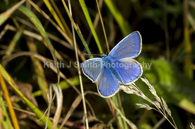 Common Blue. 5KJS1728 - Butterfly. Moths.