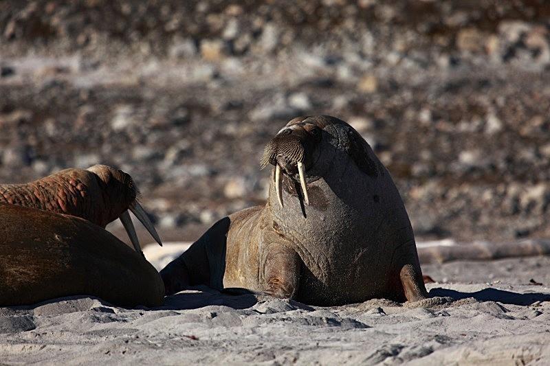 Walrus 9064 - Wildlife