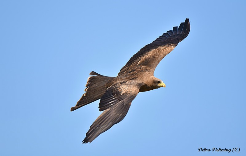 Black Kite - Birds Of Prey