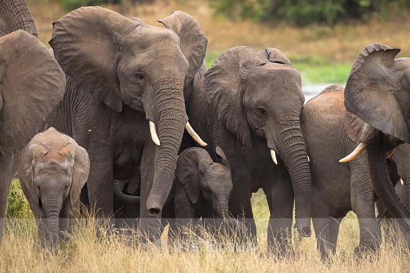 Big Herd - Elephant