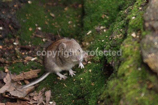 Bank Vole (Sherwood Forest NNR) - British Wildlife