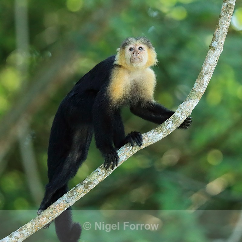 Capuchin monkey climbing up branch, Panama - Monkey