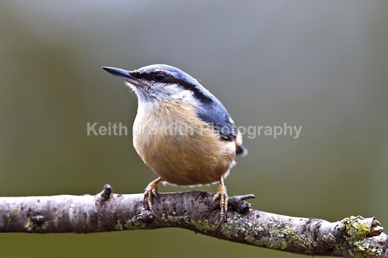 Nuthatch.1KJS2935 - Nuthatch.