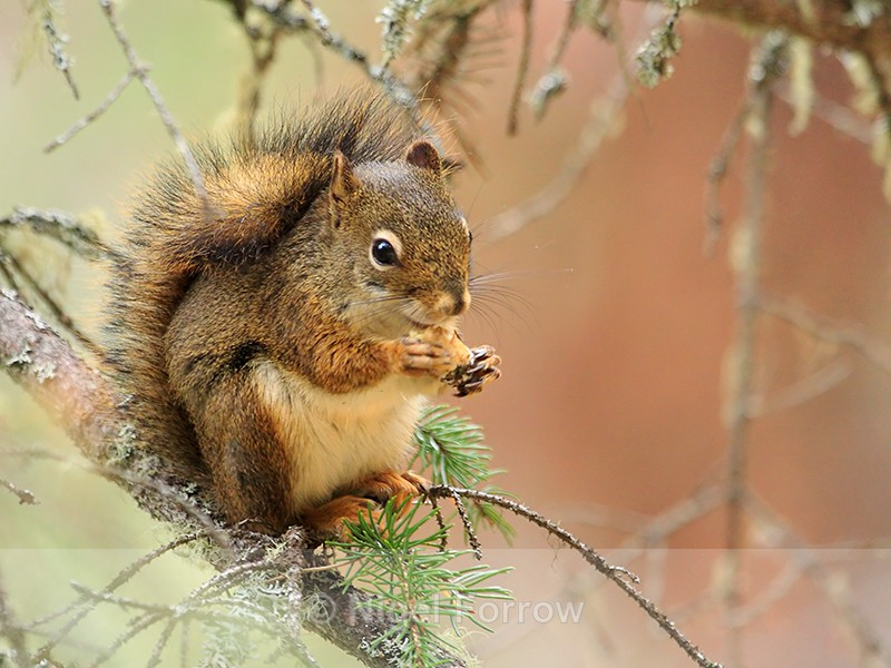 American Red Squirrel, Johnston Canyon, Banff - Squirrel