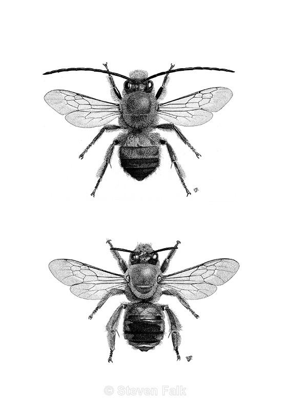 Eucera longicornis Combo - Bees