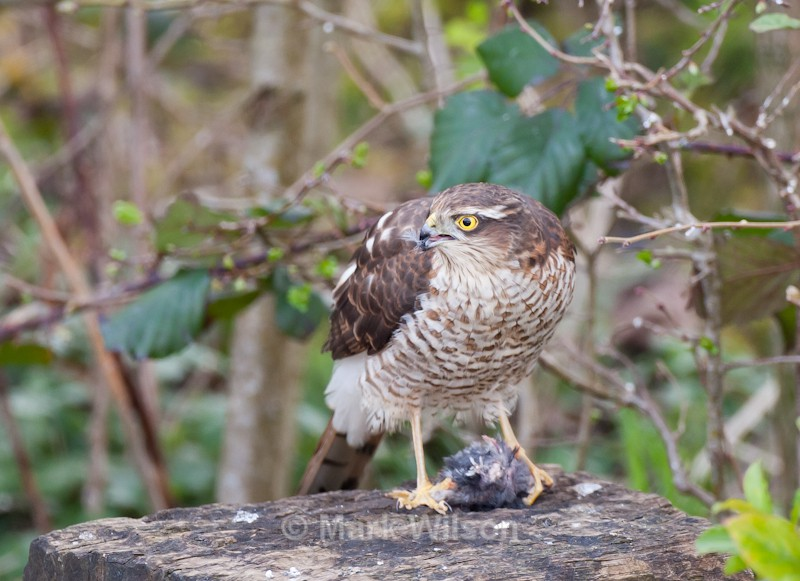 Sparrowhawk - Birds of prey & owls