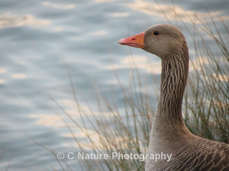 Greylag Goose - Birds