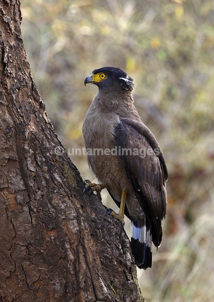 Crested Serpent Eagle - India