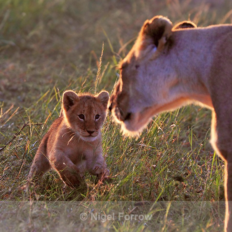 Lion cub running towards Lioness in early morning sun - Lion