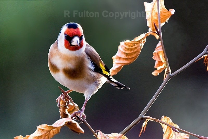 Goldfinch No2 - Nature