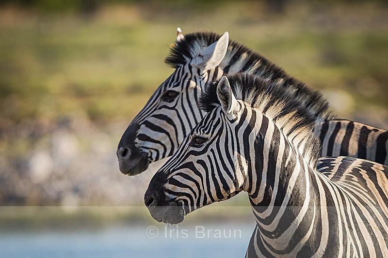 Synchronized - Zebra