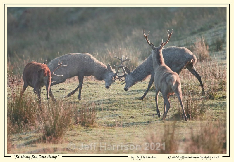 'Rutting Red Deer Stags' - Image Red D 013 - Red Deer