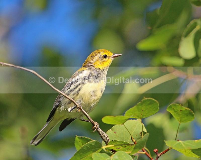 Setophaga virens - female - Birds of Atlantic Canada
