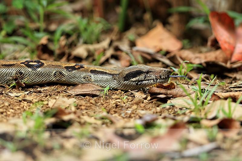 Boa Constrictor, Osa Peninsula, Costa Rica - REPTILES & AMPHIBIANS