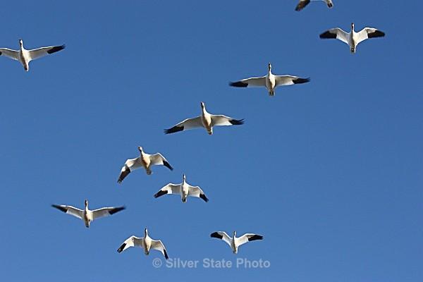Snow Geese in the beautiful Nevada Sky - Nevada Birds
