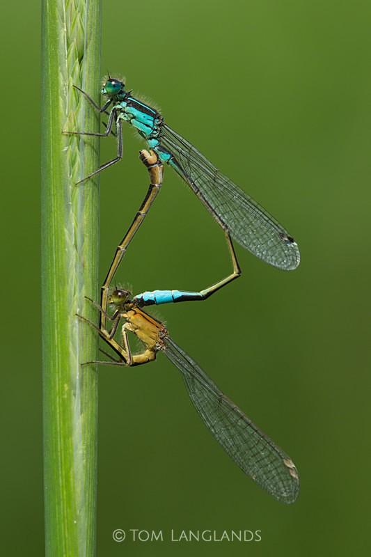 Common Blue Damselfly - Macro