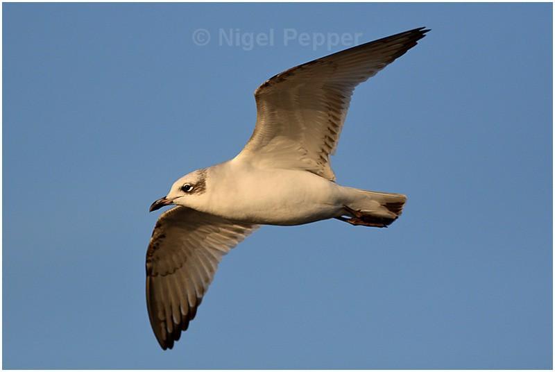 1st-yr Med Gull ( 1 ) - Gulls