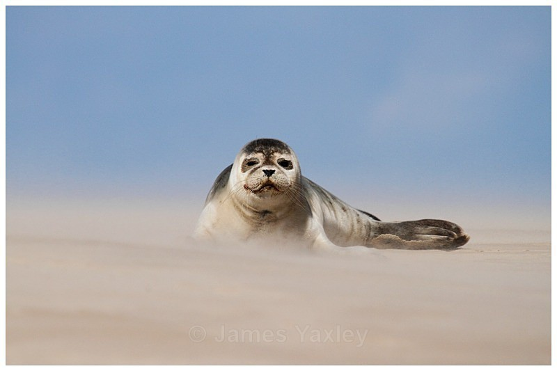 Sandstorm Seal 1 - The British Wildlife Photography Awards 2009 to 2014