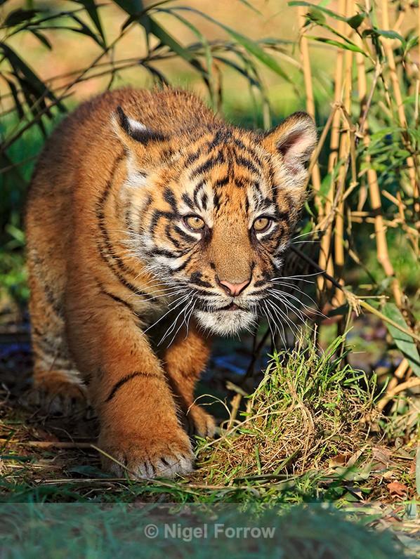 Toba the Sumatran Tiger cub stalking at the WHF - Tiger