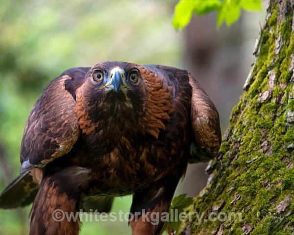 Golden Eagle - Wildlife and Animals