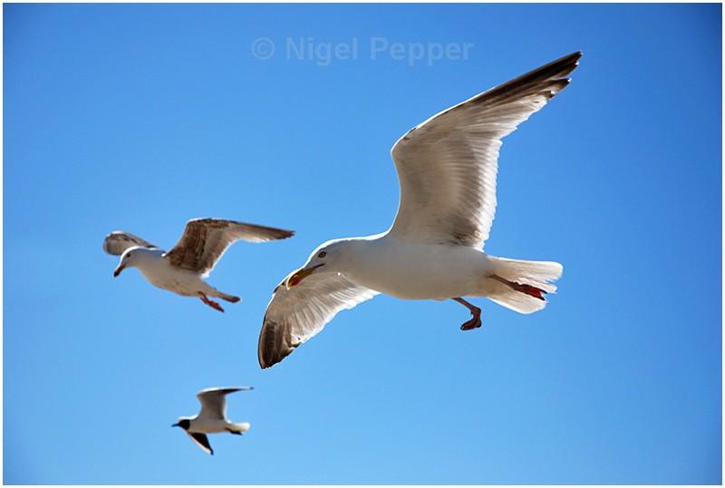 Hanging Around - Leggy the Herring Gull