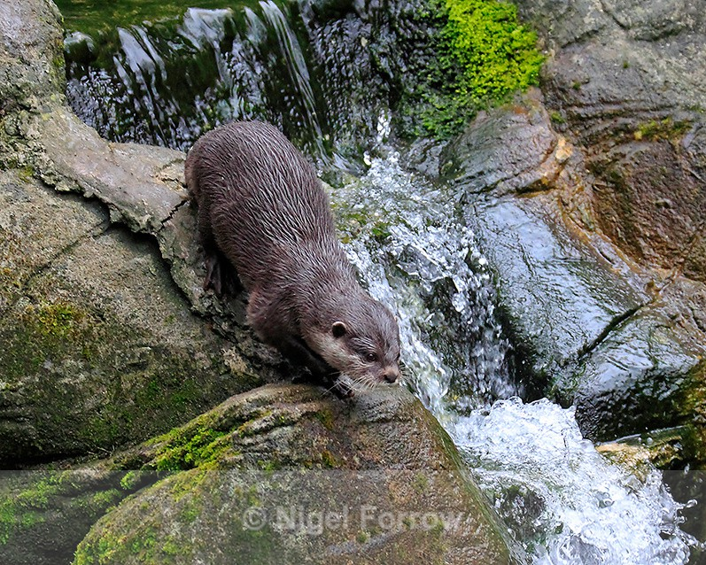 Asian Short-clawed Otter by a waterfall - Otter