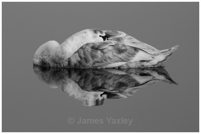 Mute Swan Reflection - Nature in Black & White